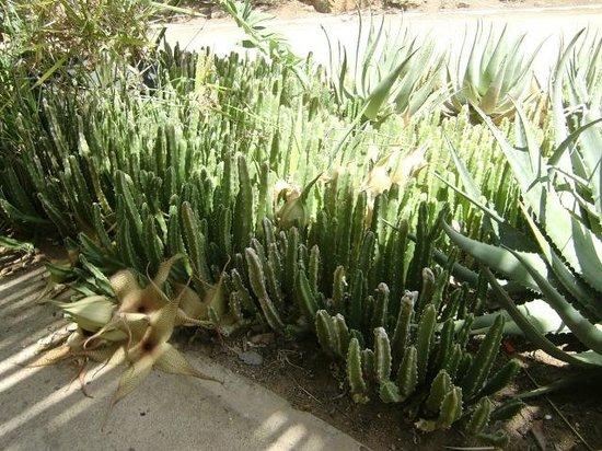 Punda Maria Restcamp: Bloeiende cactussen bij de ingang van Punda Maria (maart 2014)
