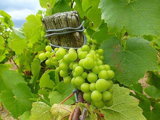 Le Temps des Hôtes : a nearby vineyard