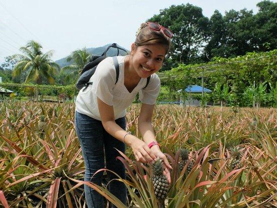 MARDI Langkawi Agro Technology Park: Pineapple
