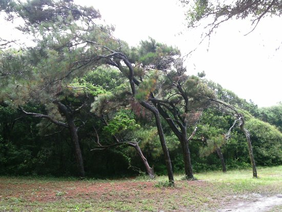 Myrtle Beach State Park: Trees on path to beach