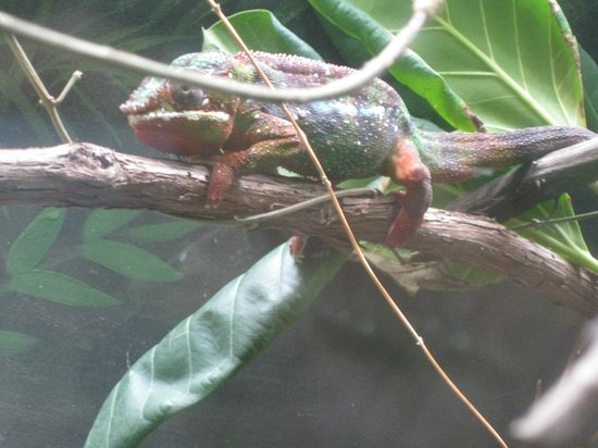 Shedd Aquarium: iguana