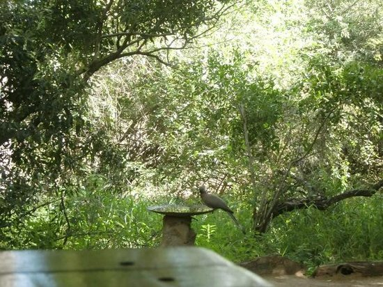 "Bateleur Bushveld Camp: Kwêvoël bij de drinkbak voor ""ons"" huisje nr. 6 (maart 2014)"