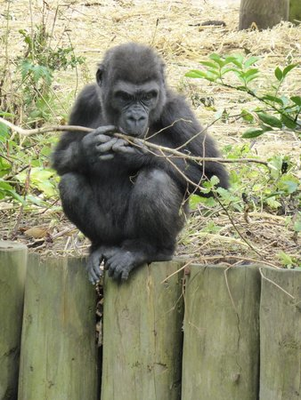 Bristol Zoo Gardens: baby gorilla - such a treat