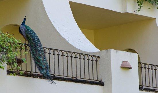 Velas Vallarta : Peacock on a balcony