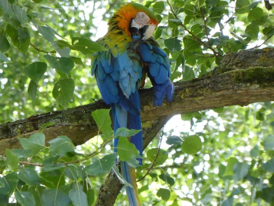 Birdland: 'tame'parrot flew into a nearby tree- great shot