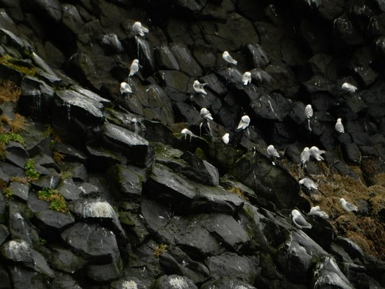 Región Occidental, Islandia: birds on cliff