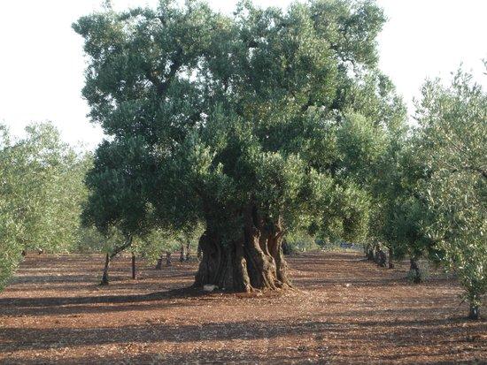Masseria Asciano : ulivo secolare