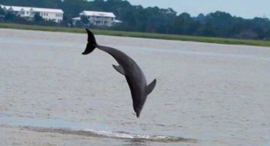 Captain Mike's Dolphin Tours: So rare to get a good picture of a dolphin. But to get one jumping is great.