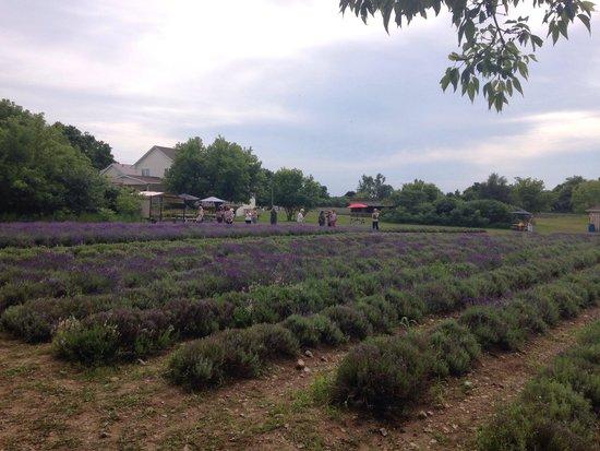 Prince Edward County Lavender: Lavenders