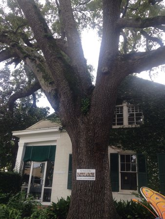 Mary Mahoney's Old French House: Patriarch tree. 2000 years old