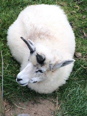 Cardigan Island Coastal Farm Park: Woolly