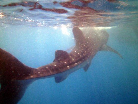 Dive Shop Mexico: Whale Shark snorkel
