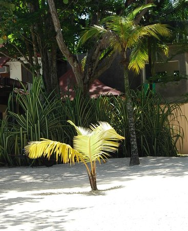Nirvana on the Beach: Baby palm, growing up for another shade location