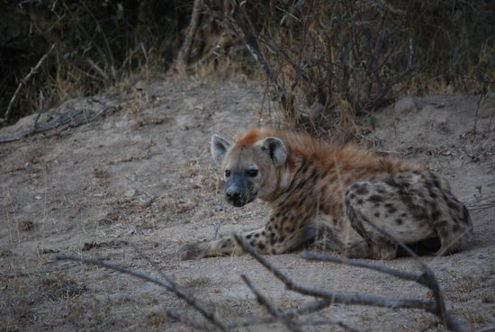 Wildlife Encounters- nDzuti Safari Camp : Hyena sighting