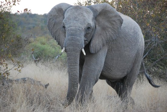 Wildlife Encounters- nDzuti Safari Camp : Elephant Sighting
