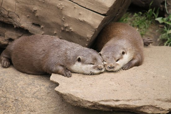 Cotswold Wildlife Park and Gardens: Otters
