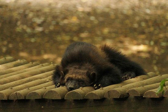 Cotswold Wildlife Park and Gardens: Wolverine