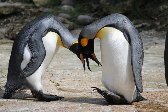Birdland: Courting penguines