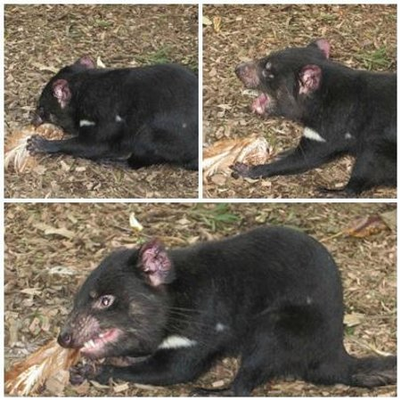 Featherdale Wildlife Park: tazmanian devil