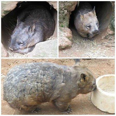 Featherdale Wildlife Park: wombat