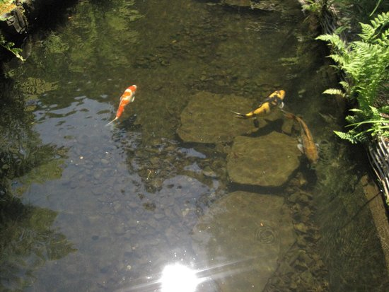 Portland Japanese Garden: Koi in a pond.