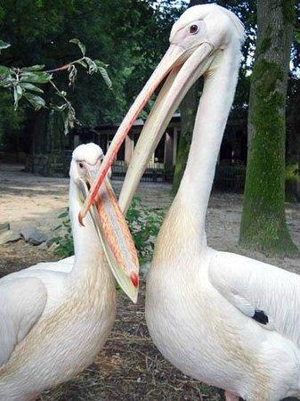 Ouwehands Dierenpark Rhenen: Pelikan