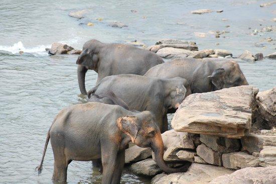 Pinnawala Elephant Orphanage: Elephants enjoying the river