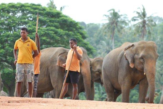 Pinnawala Elephant Orphanage: The open field foraging area