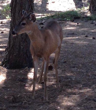 Lake Siskiyou: Deer in campground.