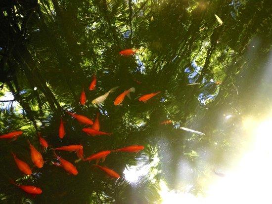 Jardin Majorelle: Золотые рыбки