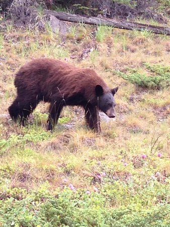 Maligne Canyon : Saw this bear and cub driving along maligne drive