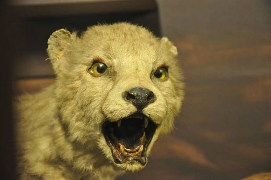 National Museum of Natural History : Wild cat display