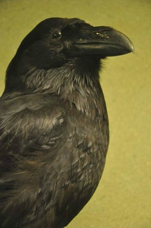National Museum of Natural History: Raven