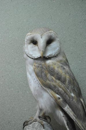 National Museum of Natural History: Barn Owl