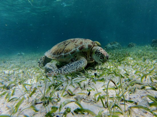 Anda De Wata Tours: A sea turtle in Hol Chan