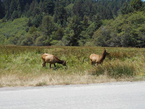 Redwood National Park: Elk in the meadow
