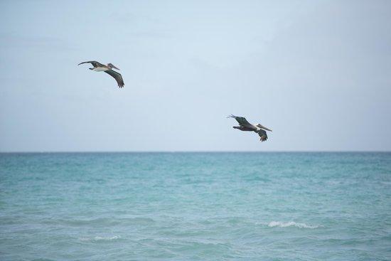Melia Buenavista : pelicanos on main beach