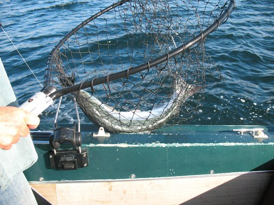 VIP Fishing Charter : One of several Salmon caught