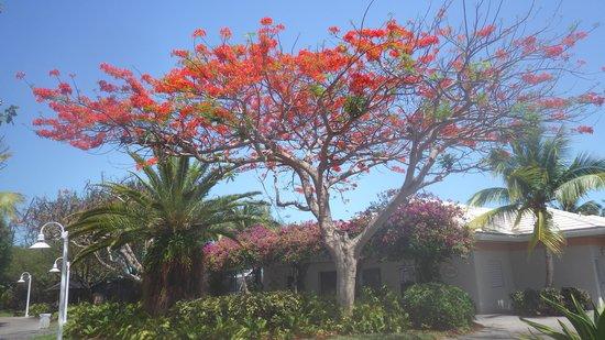Ocean Club West : Beautiful tree on property