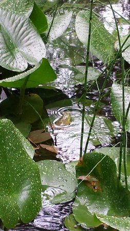 Asticou Terraces / Thuya Garden: Frog enjoying the rain.