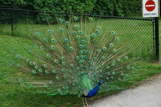 Toronto Zoo: Peacock