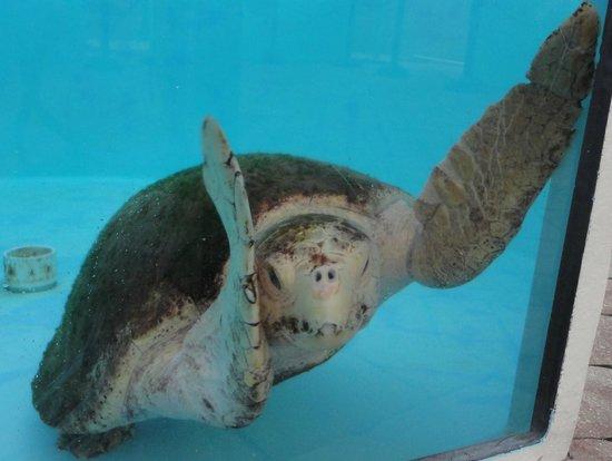 Loggerhead Marinelife Center: Turtle!