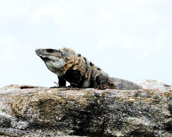Playa Azul Golf, Scuba, Spa : Iguanas