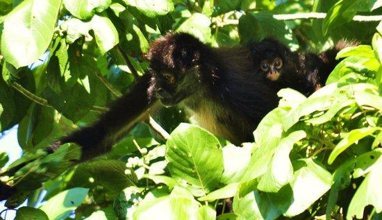 Boca Del Puma : Monkeys in nature