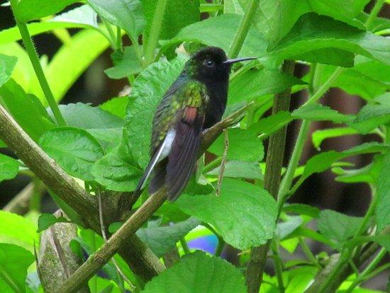 Catarata Del Toro Adventures: Black-bellied Hummingbird