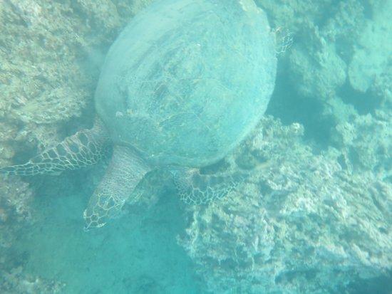 Manava Beach Resort & Spa - Moorea : turtle