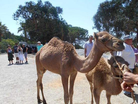Julià Travel Costa Del Sol: Camels in Tangiers