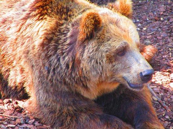 Parco Faunistico le Cornelle: Orso bruno