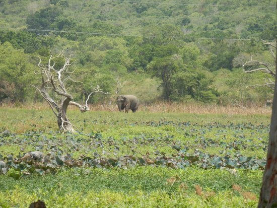 Cinnamon Lodge Habarana : Wild elephant appearing on the lake