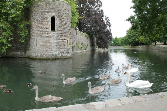 The Bishop's Palace and Gardens: Swans